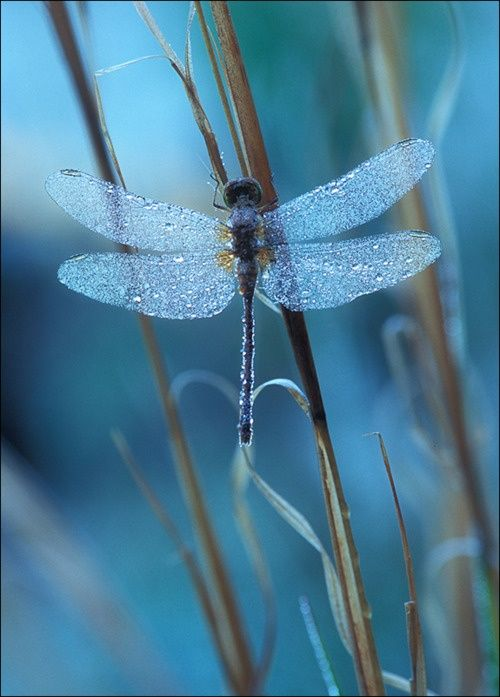 themagicfarawayttree:    Dragonfly in the Morning Dew