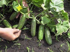 Растворы для хорошего урожая огурчиков