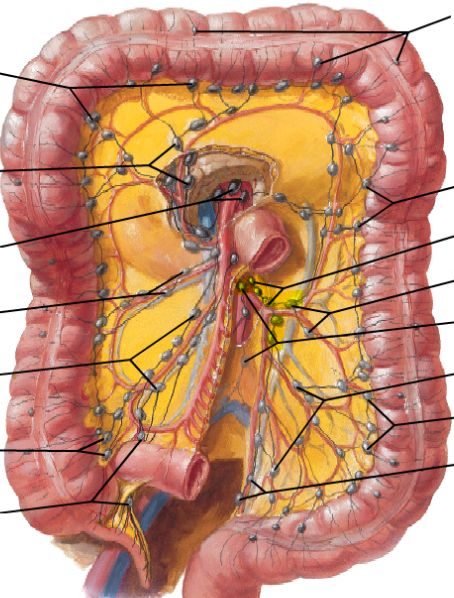 Images Of Human Anatomy Abdomen furthermore 1069 Head Anterior View Veins together with 1409 The Sacral Plexus Medial View in addition Small Intestine further Radical Orchiectomy Anatomy And Physiology. on lymphatic system anatomy physiology