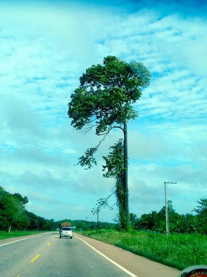 Essa castanheira está localizada na BR 316, próximo à cidade de Castanhal, Pará.