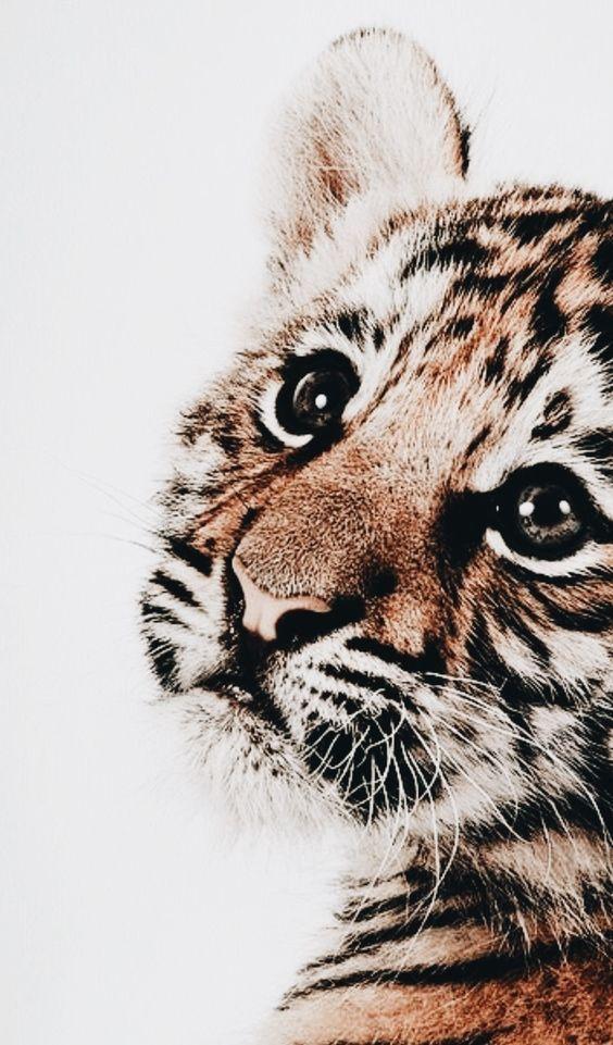 // Tiger