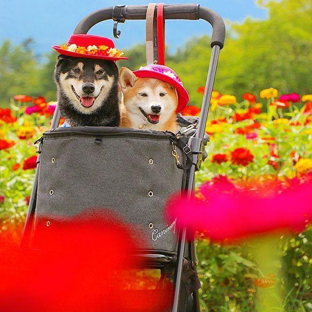 お花いりませんかー 花売り柴犬 お代はささみでよろしくね 百日草 Location 山中湖花の 都公園 Regram Via Nerishiro Shiba Inu Animals Shiba
