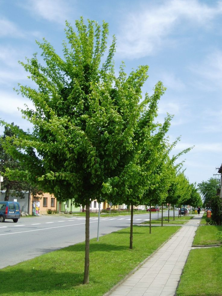 Acer campestre streetwise trees pinterest hedges for Terrace trees