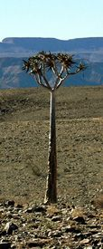 Namibia: Einzelbaum im Trockengebiet