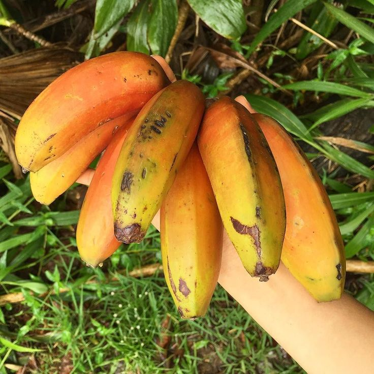 Tasty Hawaiian bananas #banana #bananas #hana #hanahawaii Morning .  #healthy #plantbasedfood #plantbasedlifestyle #plantbased #realfood #justeatrealfood #eathealthy #fruitsmoothie #vegan #veganfood #veganism  #maui #hawaii  #гавайи #мауи  #фрукты #банан #бананы #полезноепитание #зож #здоровыйобразжизни #питайсяздорово #здоровье #веган #веганство #веганизм by healthyalyona