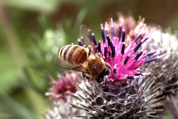 Monitoring pszczół :: Dodaj swoje zdjęcie na www.monitoringpszczo.pl i wspólnie badajmy #pszczoły!  #pszczoła #pszczelarstwo #pszczola