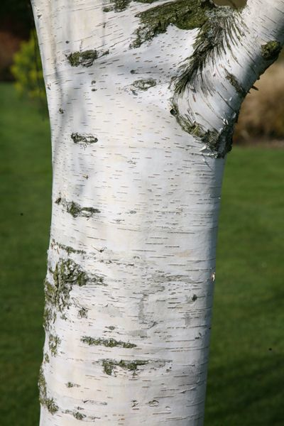 Buy silver birch Betula pendula: Delivery by Crocus.co.uk