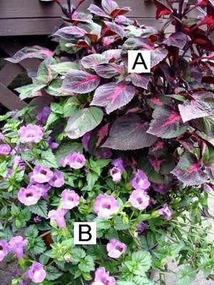Container Flower Gardening Ideas: A = Perilla, B = Torenia: Container Flower Gardening Ideas: Perilla, Torenia  A simple yet tasteful combination of deep red, mid-green and pink/white makes this container garden