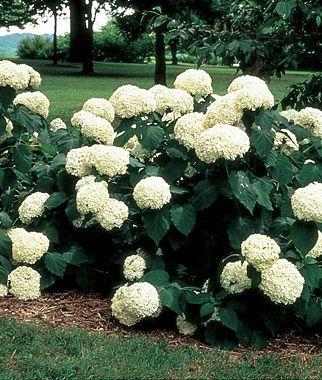 Hydrangea, Arborescens Annabelle  An old favorite, often found in old, established estate gardens.