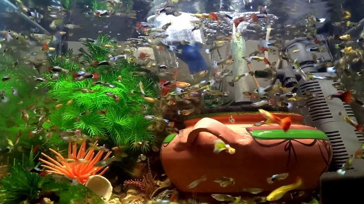 My FISH COLLECTION Edited Video #005#fish #tank #howto #make #design #aquarium #FHD #1080P #NEW #2017 #Freshwater #Setup #Disease #Breeding #Plants #Books #Articles #Saltwater  #Guide #Reef #Coral #Live #Rock #Equipment #Reviews #Light #Brine #Shrimp #Hatchery #Osmosis #UV #Sterilizer #Chiller #most #pictures #videos  #movies #youtube #ever  Freshwater Fish Barbs Betta Catfish Cichlids Freshwater Inverts Gourami Livebearers Loaches Puffers Tetras Saltwater Fish Angelfish   Dwarf Angelfish…