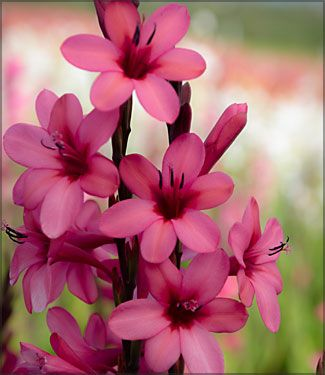 Google Image Result for http://www.easytogrowbulbs.com/images/Product/medium/watsonia_raspberry_delight.jpg