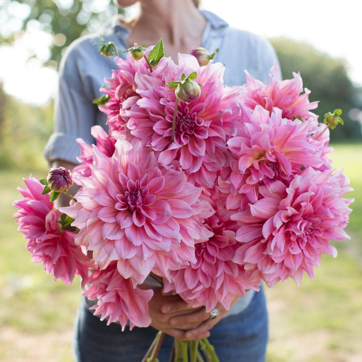 Otto's Thrill - Description - This giant rosy-pink treasure is a huge hit with everyone who visits our garden, especially wedding florists. If you're looking for a winning addition to your dinnerplate dahlia collection, then look no further. With long, strong stems & huge 8-12 inch shimmering pink blossoms, 'Otto's Thrill' deserves a spot in every cutting garden.