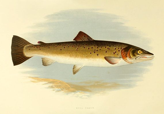 Another Trout print.