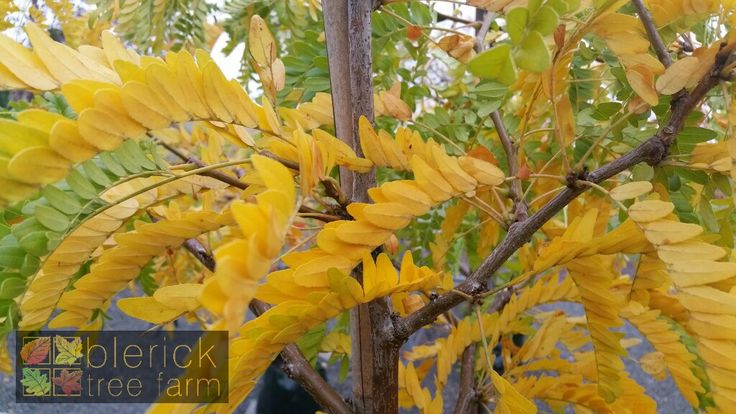 Gleditsia – Sunburst – Purchase Bare Rooted Trees Online