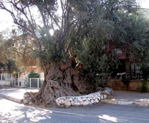 Olive tree(s)