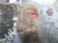 Kansai Gaidai Experience: Wild Japanese Snow Monkeys - Jigokudani Monkey Park