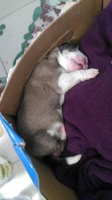Pequeños cachorros de mastín sacados junto con sus 5 hermanos recién nacidos de una bolsa en la basura... #adoptar #mascotas #adopcion #perros #gatos