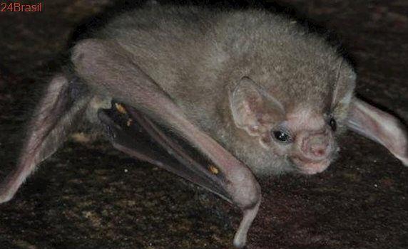 """Adaptação à """"nova realidade"""": Morcego raro passa a se alimentar de sangue humano em PE"""