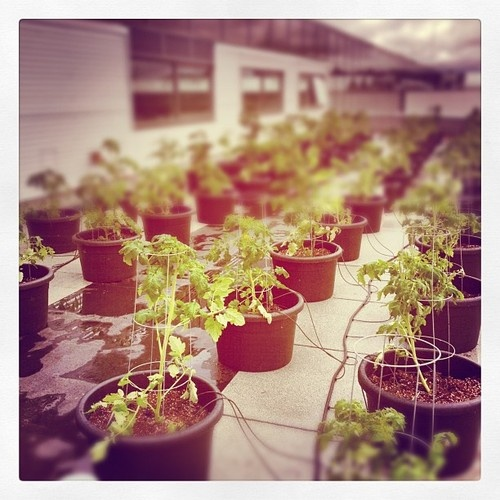 My cellphone sees: rooftop tomatoes growing at the Enjoy Centre.