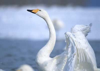 Swan, the national bird of Finland