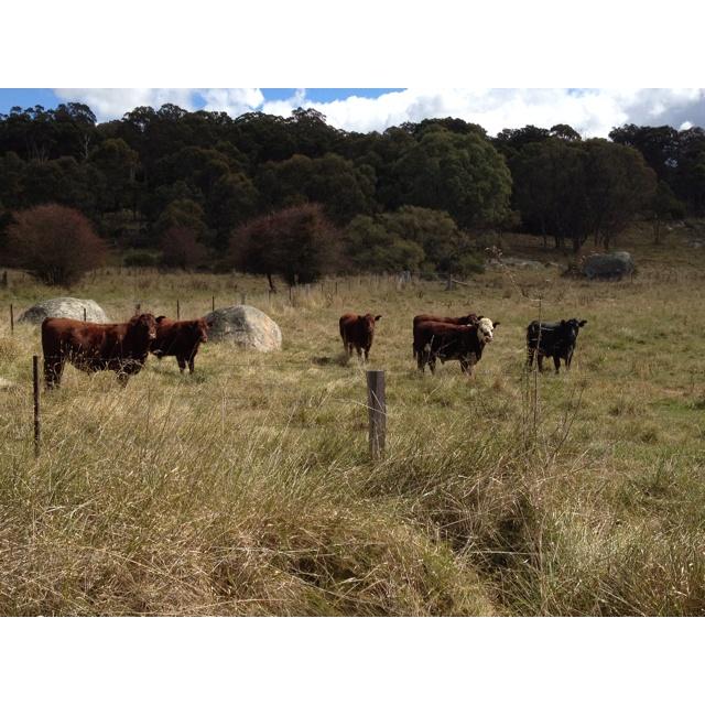 Glen Innes cows