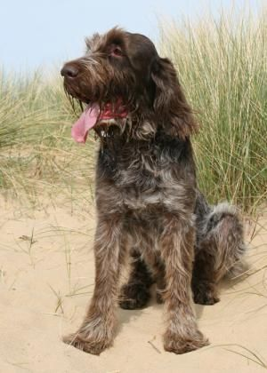 My life is nothing until I get an Italian Spinone. His name will be Rafferty
