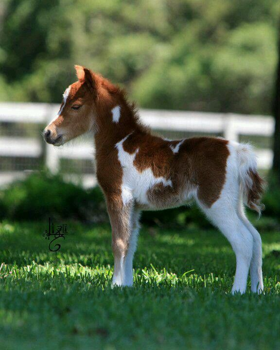 Miniature pinto horse - Oh my goodness, I would LOVE to have this little one!