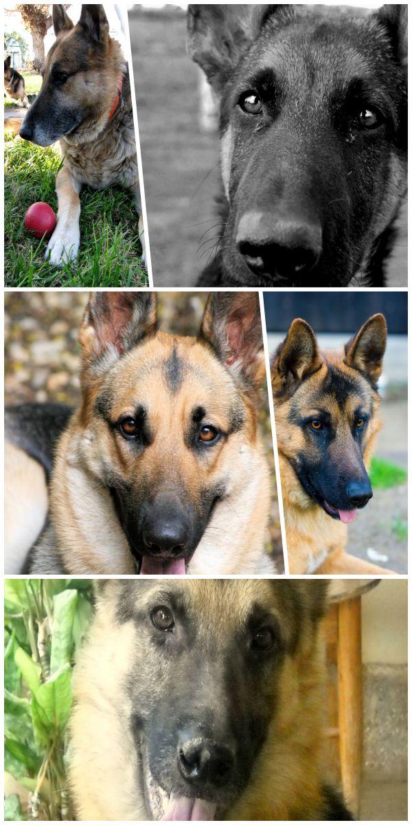 Must see german shepherd rescue near me gsd adoption