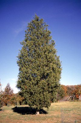The Eastern Red Cedar is an evergreen tree that reaches 40 to 50 feet in height. This species provides food and cover for a number of birds and mammals. Best used as windbreaks, shelter belts and hedg