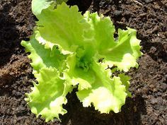 TALLER DE HUERTOS CASEROS: Como cultivar lechugas en su huerto casero