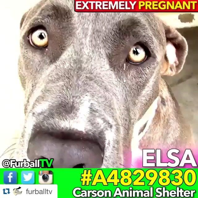 URGENT PREGNANT  ELSA ⤵️ HER & HER BABIES NEED US !! #NETWORK , #PLEDGE , #FOSTER , #RESCUE  #Repost @furballtv ・・・ #SaveELSA - #A4829830 ❤️ MOMs, CAN YOU IMAGINE? ❤️ EMERGENCY - ELSA is EXTREMELY pregnant. She's days away from having puppies in the worst place in the world. Moms, If you've had children can you imagine? She is SOooo sweet and gentle even as she is obviously very uncomfortable. She is in quarantine area where nobody goes and had no blankets or comforts of any kind that I…