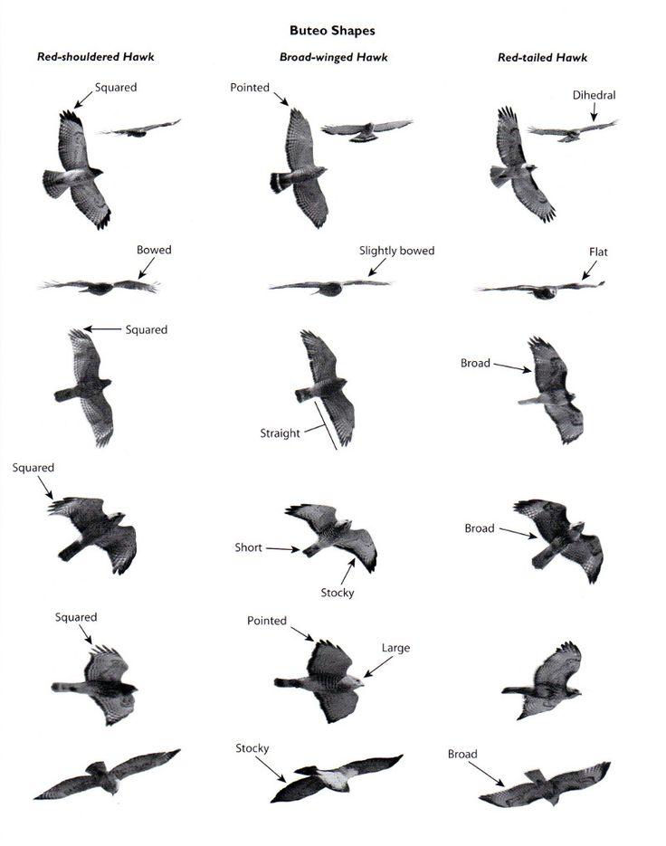 Hawk identification in flight wing shape body shape feathers