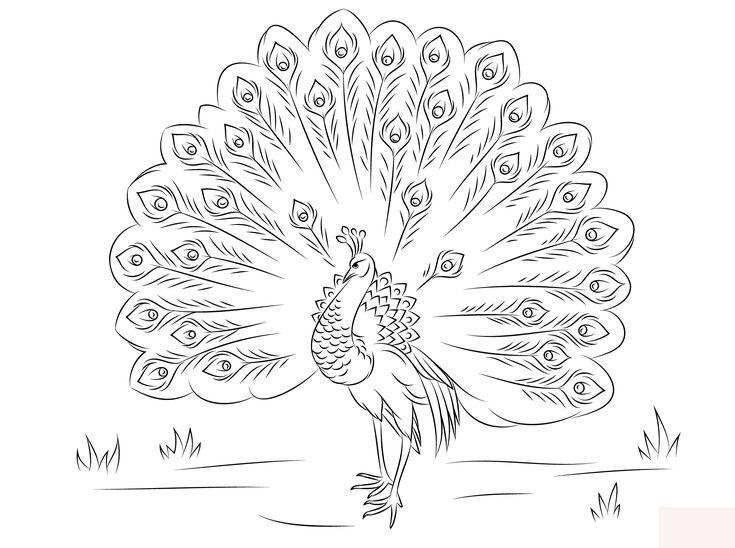 8 beste ausmalbilder pfau und pfauenfeder tiere  vogel