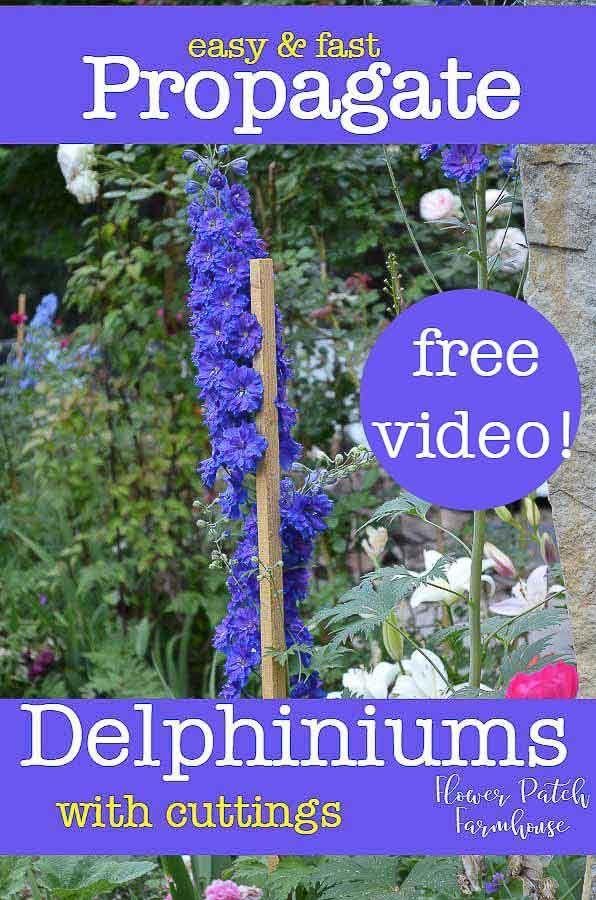 Propagate Delphiniums With Cuttings Delphinium Flowers Delphinium Propagating Plants