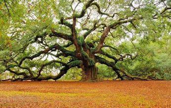 400 year old tree Angel Oak in South Carolina