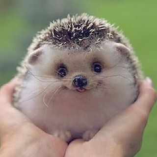 Happy  Hedgehog  | Photography by @ unknown master  #WildlifeAnmls