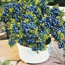 Beautiful Grow Blueberries In A Pot