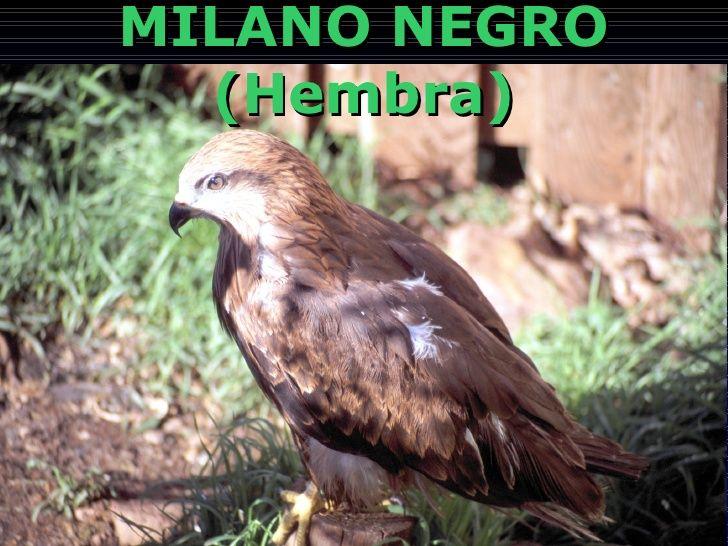 MILANO NEGRO (Hembra)