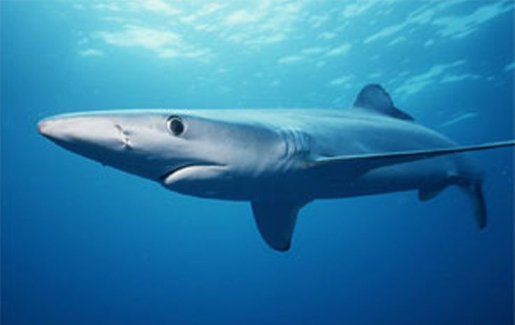 Though they may reach lengths of up to nine or ten feet (3 m),blue sharksspecializein relatively small prey, including small pelagic fishes and small squids, and they undertake regular feeding dives to deeper pelagic waters, likely to hunt.