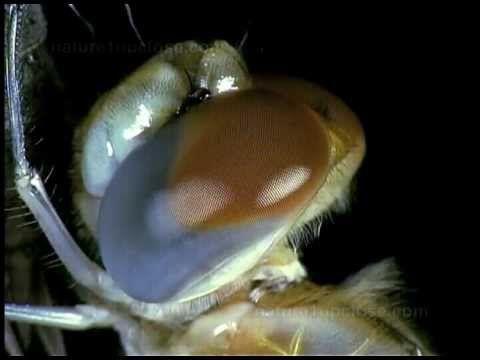 Ch. 10:  Dragonfly larva metamorphosis (#320) - YouTube