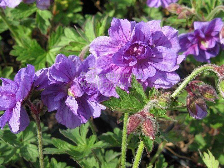 """Geranium himalayense """" Plenum """" - kakost Zahradnictví Krulichovi - zahradnictví, květinářství, trvalky, skalničky, bylinky a koření"""