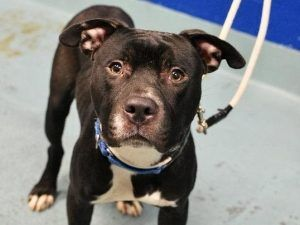 TO BE DESTROYED 09/23/17 **NEEDS A NEW HOPE RESCUE TO PULL**Brooklyn Center My name is CHEESE PUFF. My Animal ID # is A1125985. I am a male black and white am pit bull ter mix. The shelter thinks I am about 2 YEARS I came in the shelter as a STRAY on 09/19/2017 from NY 11208, owner surrender reason stated was STRAY.