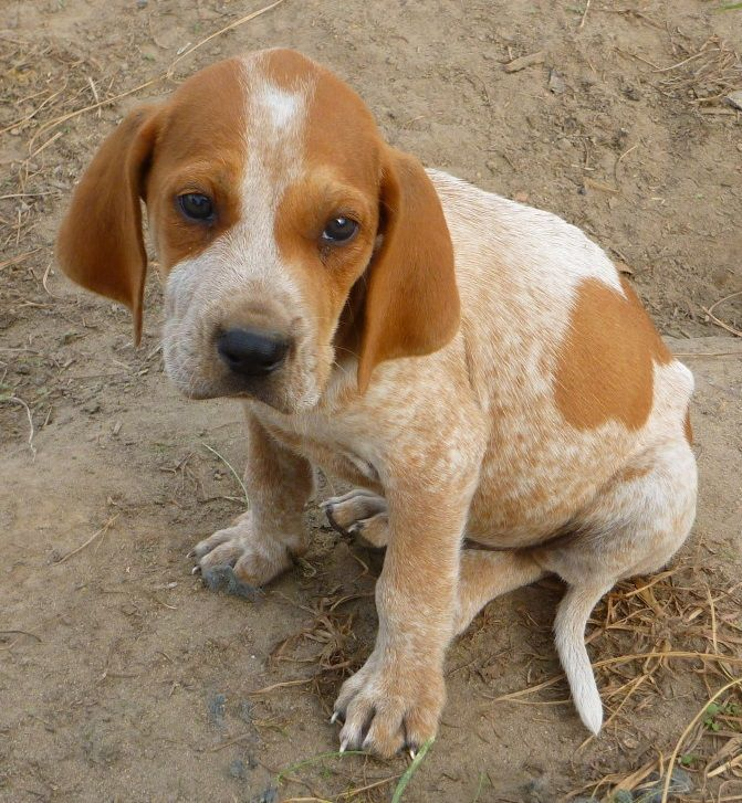 red tick coonhound | American English Coonhound / Redtick Coonhound | Coon hunting