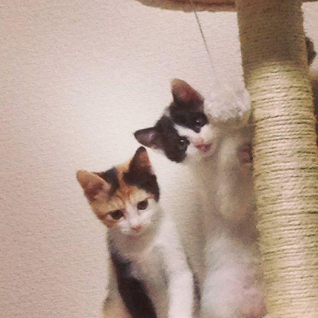 うちに来たのは生後2ヶ月の時🚼それまでは仕事で家を空けることが多かったので実家で過ごしてましたトロビンさん😸 この頃は声も小さいし走り方も赤ちゃんで可愛かった💞  #猫#cat#pets#三毛猫#愛猫#姉妹猫#ねこ部#鍵尻尾#保護猫#生後2ヶ月#トロビン成長記