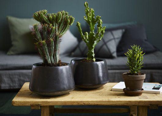 Kaktuser skaper en røff stil hjemme.