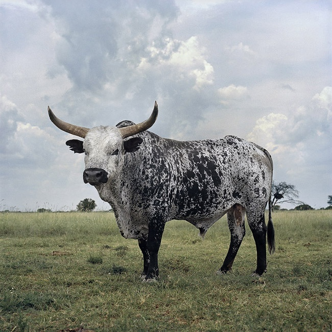 Black and white Nguni bull. Stella, North West Province, 1 March 2010  Animal Farm | African Landscapes - Daniel Naude #photography #southafrica #animals