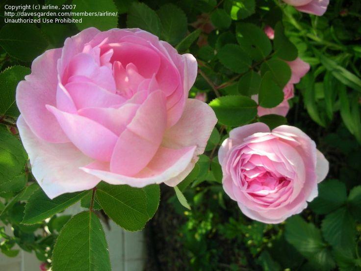 92 best images about english roses on pinterest. Black Bedroom Furniture Sets. Home Design Ideas