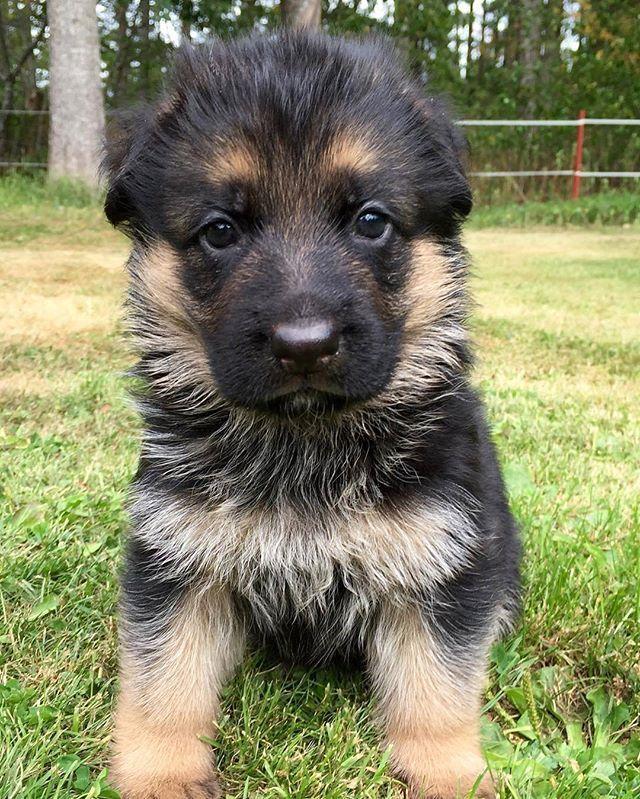 What Would You Name This Pup Eija Lovgren Germanshepherds