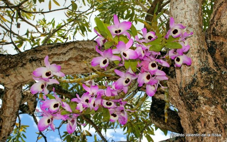 Ricardo's Blog, : Dendrobium nobile Lindley 1830. Culture: A plant that has bec naturalized on a tree near the town of Corozal, Puerto Rico