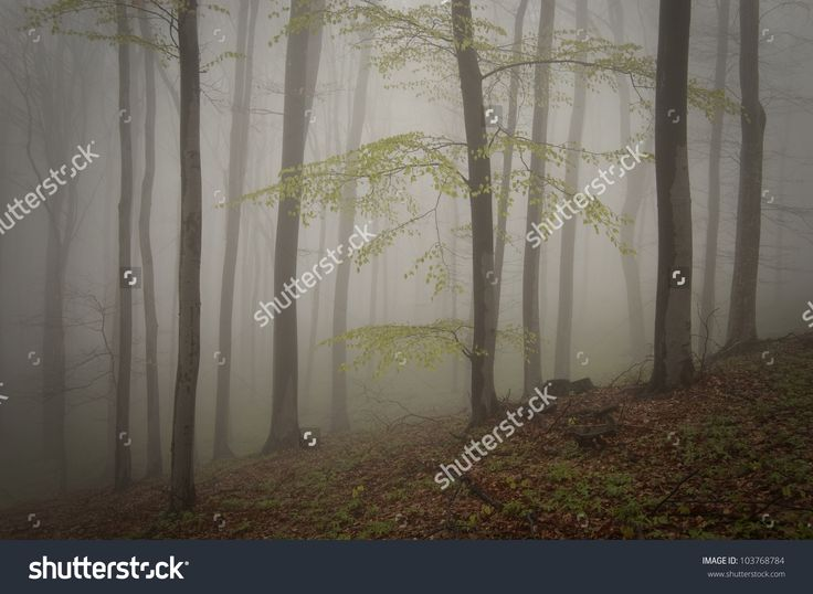 Tree With Green Leafs In A Misty Forest Stock Photo 103768784 : Shutterstock